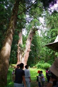 筏の大杉①